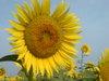 Sun_f